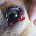 Дирофилярия в глазу у собаки
