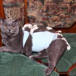 Кошка в попоне после операции