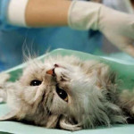 Стерилизация кошки, идёт операция