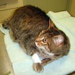 Кошка с переломом лапы