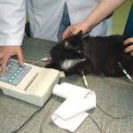 ЭКГ кошки