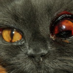 Тяжёлая травма глаза у кошки