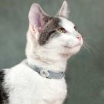 Кошка в ошейнике от клещей